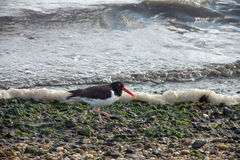 Oyster catcher Royalty Free Stock Photos
