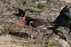 Oyster catcher Stock Images