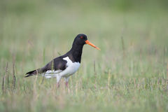 Oyster catcher Stock Image