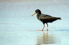 Oyster catcher Royalty Free Stock Images