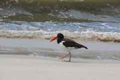 Oyster Catcher on Beach Royalty Free Stock Image