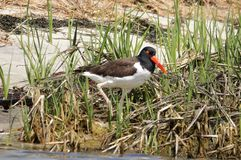 Can`t catch this Oystercatcher stock images