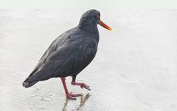 Oyster Catcher on White. A black Oystercatcher walks on wet sand. High key effect on white background. Ample text room stock image