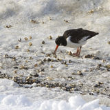 Oyster-catcher With Shells Royalty Free Stock Images