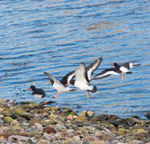 Oyster Catchers Stock Images