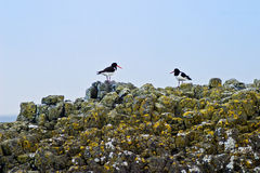 Oyster catchers Royalty Free Stock Images
