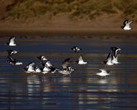 Oyster Catchers Stock Photos