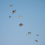 Oyster Catchers in flight Royalty Free Stock Images