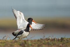 Oyster Catchers Mating. Royalty Free Stock Images