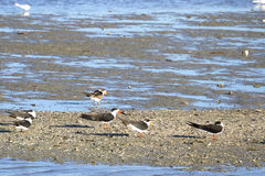 Oyster Catchers On Sand Bar Stock Photography