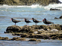 Oyster Catchers and Sandpipers 1 Stock Photo
