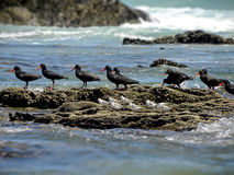 Oyster catchers and Sandpipers 1 Stock Photography