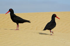 Oyster catchers walking over some sand dunes Stock Photos
