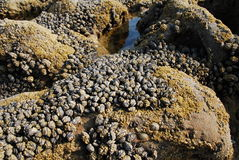 Oyster covered rock, Hastings Royalty Free Stock Photo