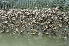 Oyster culture adhere on the net Royalty Free Stock Photography