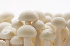 Oyster Enoki Mushrooms Stock Image