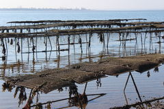 Oyster farm. Some oyster beds at the coast in England Royalty Free Stock Photography