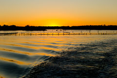 Oyster Farm Beds silhouetted at sunset. Oyster Farm Beds silhouetted on water at sunset with backwash of boat rippling in water stock photo