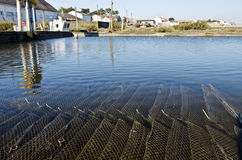 Oyster farm with growing oysters in cages underwater. Pool of Oyster farm with cages containing growing oysters under the water. Farmers village is at background Stock Photo