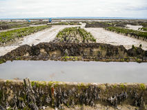 Oyster farming in britain Royalty Free Stock Images