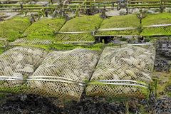 Oyster farming in France Royalty Free Stock Images