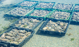 Oyster farming Stock Image