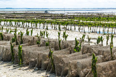 Oyster farming Stock Photo