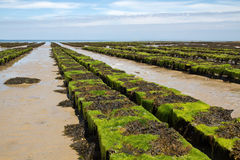 Oyster farming on Jersey, UK Royalty Free Stock Photography