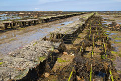 Oyster farming on Jersey, UK Royalty Free Stock Photos