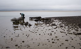 Oyster Farming in Northumbria, UK. Farmer collecting oysters from beds near Holy Island (Lindisfarne) in Northumbria, England stock image