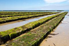 Oyster farming off the Jersey coast, UK Royalty Free Stock Images