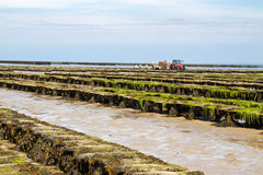 Oyster farming off Jersey island, UK Royalty Free Stock Image