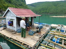Oyster farming in Vietnam. Group  of workers oyster farming Stock Image