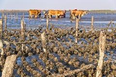 Oyster farms in Taiwan coast. Oyster farms in Taiwan's west coast Stock Photos