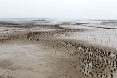 The oyster field on mudflat Stock Image