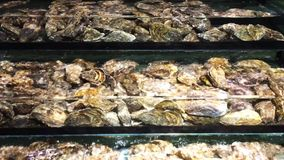 Oyster stock video