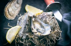 Oyster. Fresh oysters closeup with knife on dark background. Oyster dinner in restaurant. Gourmet food royalty free stock image