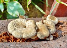 Oyster Fungus Stock Image