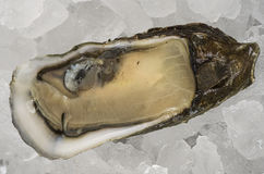 Oyster on Half Shell Stock Image