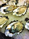 Oyster on the Halfshell on Ice. Raw fresh Pacific oysters served on the halfshell on resting on a bed of crushed ice Stock Image