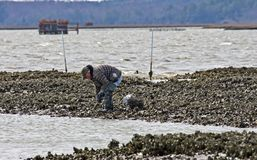 Oyster Harvest Royalty Free Stock Photo