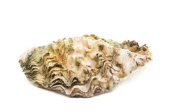 oyster isolated stock photos