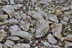 Oyster layer Royalty Free Stock Images