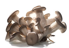 Oyster mushroom royalty free stock photo