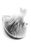 Oyster mushroom in black and white. An artistic study in black and white of a mushroom stock photography