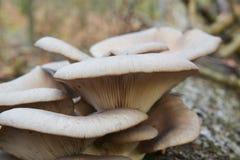 Oyster mushroom cluster. Pleurotus ostreatus mushroom cluster, the oyster mushroom royalty free stock photos