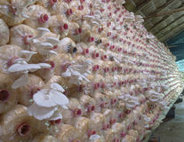 The  Oyster Mushroom farm Royalty Free Stock Photos