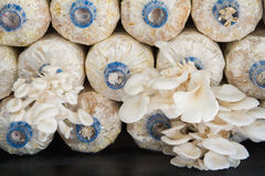 Oyster mushroom farm Royalty Free Stock Photos