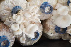Oyster mushroom farm Royalty Free Stock Image