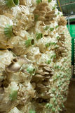 The oyster mushroom farm Royalty Free Stock Photography